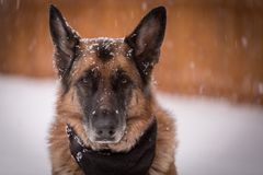 Cão-pastor alemão que olha a câmera quando arou da queda dos flocos de neve Imagens de Stock