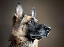Cão-pastor alemão que olha fora da câmera para fora uma janela imagem de stock royalty free