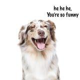 Cão-pastor australiano no fundo branco Imagens de Stock Royalty Free