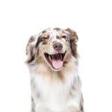 Cão-pastor australiano no fundo branco Imagem de Stock