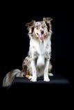 Cão-pastor australiano no fundo preto Imagens de Stock Royalty Free