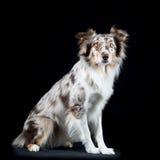 Cão-pastor australiano no fundo preto Fotos de Stock