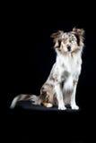 Cão-pastor australiano no fundo preto Fotos de Stock Royalty Free