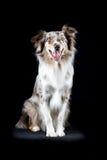 Cão-pastor australiano no fundo preto Imagem de Stock