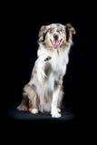 Cão-pastor australiano no fundo preto Imagens de Stock