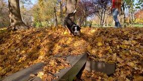 Cão-pastor australiano no parque filme