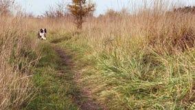 Cão-pastor australiano no parque video estoque
