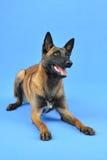 Cão-pastor belga entusiasmado que espera algo fotografia de stock