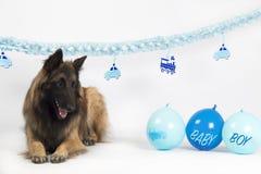 Cão, pastor belga Tervuren, colocando com o bebê azul com balões e festões fotografia de stock