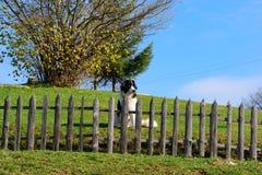 Cão-pastor bosniano que guarda sua jarda imagens de stock