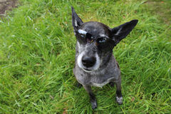 Cão-pastor cinzento Foto de Stock