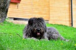 Cão pastor cinzento Imagens de Stock Royalty Free