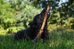 Cão pastor croata Fotos de Stock
