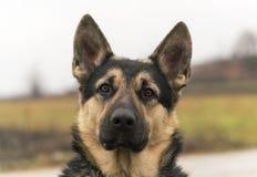 Cão pastor da Europa Oriental, pastor alemão preto fotografia de stock
