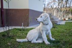 Cão-pastor de Bucovina Fotografia de Stock Royalty Free
