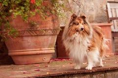 Cão pastor de Sheltie Shetland Imagens de Stock Royalty Free