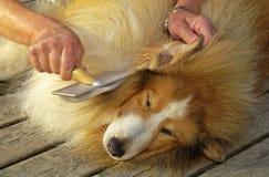 Cão pastor de Shetland Fotografia de Stock
