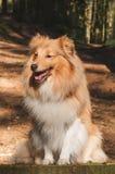 Cão pastor de Shetland Imagens de Stock Royalty Free