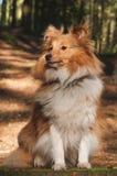 Cão pastor de Shetland Foto de Stock Royalty Free
