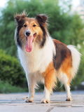 Cão pastor de Shetland de sorriso Fotografia de Stock