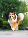 Cão pastor de Shetland de sorriso Imagens de Stock Royalty Free