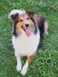 Cão pastor de Shetland de sorriso Fotos de Stock Royalty Free