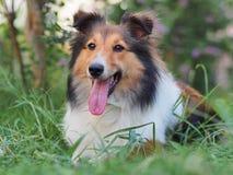 Cão pastor de Shetland de sorriso Fotografia de Stock Royalty Free