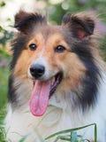 Cão pastor de Shetland de sorriso Imagem de Stock