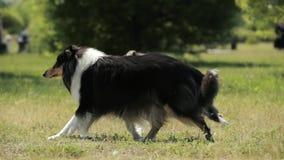 Cão pastor de Shetland engraçado do adulto e do cachorrinho, Sheltie, grama de Collie Running Outdoor In Green Dia ensolarado do  video estoque