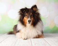Cão pastor de Shetland no retrato do estúdio que encontra-se para baixo foto de stock