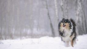 Cão pastor de Shetland novo engraçado, Sheltie, Collie Playing Outdoor In Snow, estação do inverno Animal de estimação brincalhão filme