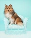 Cão pastor de Shetland ou sheltie bonito que sentam-se em uma cadeira de turquesa em um fundo azul de turquesa Imagens de Stock Royalty Free