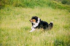 Cão pastor de Shetland, Sheltie, collie Exterior corrido jogo na grama do verão Fotos de Stock Royalty Free