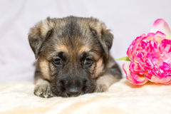 Cão-pastor do cachorrinho Imagens de Stock Royalty Free
