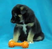 Cão-pastor do cachorrinho do híbrido em um fundo azul Imagens de Stock Royalty Free