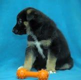 Cão-pastor do cachorrinho do híbrido em um fundo azul Foto de Stock Royalty Free