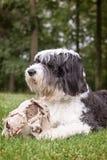Cão pastor inglês velho que encontra-se na grama com uma bola de futebol velha Imagem de Stock