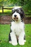 Cão pastor inglês velho que está na grama Imagens de Stock Royalty Free