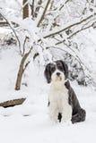 Cão pastor inglês velho que está na neve Fotos de Stock