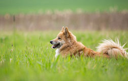 Cão pastor no campo Fotos de Stock