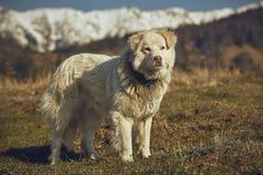 Cão pastor peludo branco alerta Foto de Stock Royalty Free