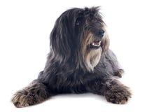 Cão pastor pirenaico fotografia de stock