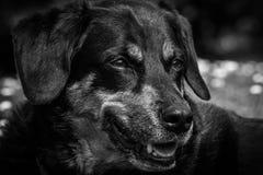 Cão-pastor que relaxa Fotografia de Stock