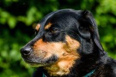 Cão-pastor que relaxa Fotografia de Stock Royalty Free