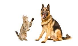 Cão-pastor reto do gato brincalhão e alemão escocês Imagem de Stock Royalty Free