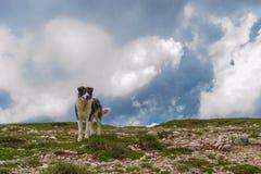 Cão-pastor romeno da montanha foto de stock