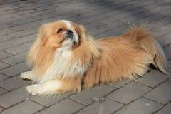 Cão pekingese foto de stock royalty free