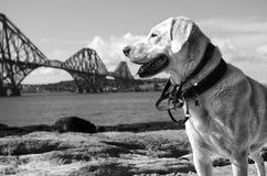 Cão pela ponte do trilho Imagem de Stock