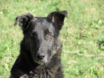 Cão peludo do preto principal do close up contra o fundo da grama Fotografia de Stock Royalty Free