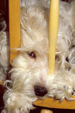 Cão peludo na cadeira Fotografia de Stock Royalty Free